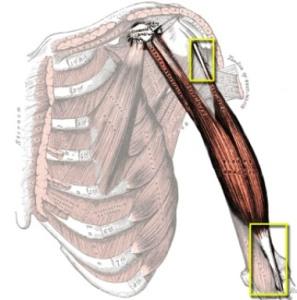 Tendones del Bíceps